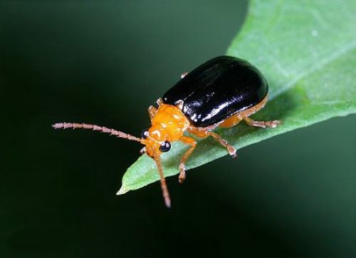 Rhaphidopalpa foveicollis
